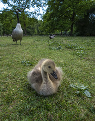 Greylag goose chicks in the park