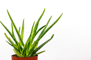 Close-up Of Aloe Vera Plant Against White Background