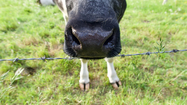 Strange image of black cows nose with white cloven hooves below