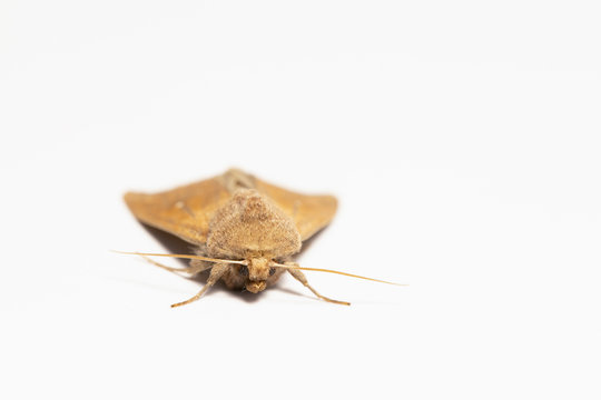 Armyworm moth, mythimna unipuncta, photographed. Photographed on white background. Close up.