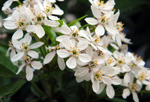 Close up of a blossoming branch of Mexican orange blossom or Mexican orange (Choisya ternata )
