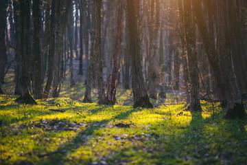 壁紙(ウォールミューラル) - Fantastic forest in the sunlight. Dramatic spring woodland.
