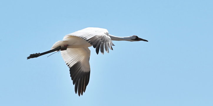 Whooping Crane in the Sky