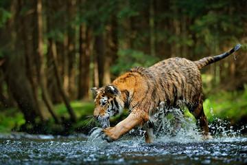 Amur tiger playing in the water, Siberia. Dangerous animal, tajga, Russia. Animal in green forest stream. Siberian tiger splashing water.
