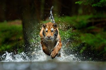 Foto op Canvas Tijger Amur tiger playing in the water, Siberia. Dangerous animal, tajga, Russia. Animal in green forest stream. Siberian tiger splashing water.
