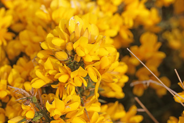 Gorse bush in flower in close up