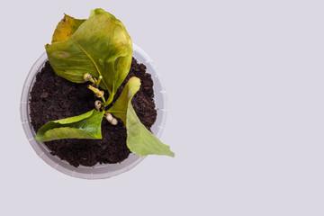 Zitrone Steckling mit Blüte von oben in einem kleinen Topf mit Anzuchterde.