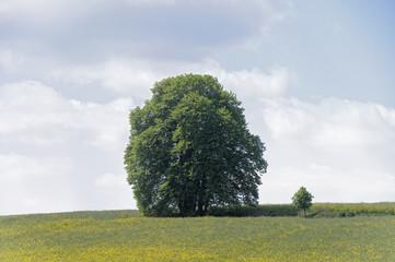 Bäume im Rapsfeld