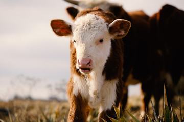 Wall Mural - Cute baby cow shows Hereford calf close up with herd on farm.