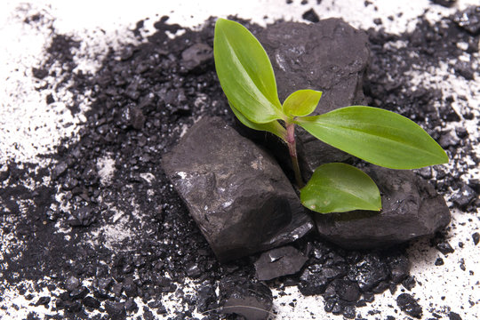 sprout of a plant makes its way through coal, white background, new life concept, start all over again after failure, black coal and plant on a white background