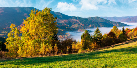 valley full of fog. autumn landscape at sunset. forest in colorful foliage on the grassy hill. beautiful mountain scenery in autumn. cloud inversion wonderful nature phenomenon