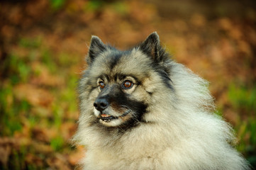 Printed roller blinds Dog Close-up Of Keeshond Looking Away