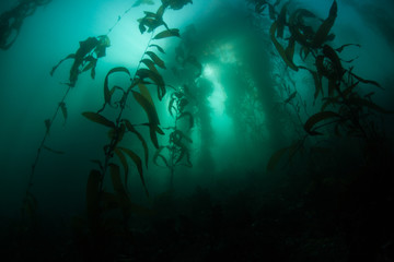 A forest of Giant kelp, Macrocystis pyrifera, grows in the cold eastern Pacific waters that flow along the California coast. Kelp forests support a surprising and diverse array of marine biodiversity.