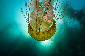 A huge Pacific sea nettle, Chrysaora fuscescens, cruises near a kelp forest along the California coast. Kelp forests support a surprising and diverse array of marine biodiversity.