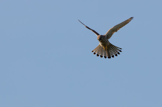 Low Angle View Of Falcon Flying Against Clear Sky