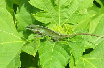 Anole lizard on green leaves Wall mural