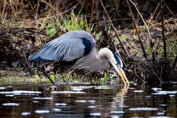 Great blue heron in swamp alone in spring