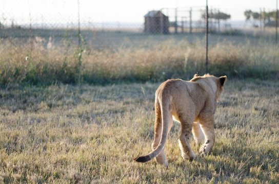 A lion cub walking away from the camera with a savannah background in a preservation center in Johannesburg, South Africa.
