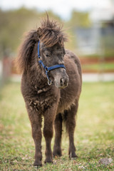 Picture of Adorable brown Shetland pony foal. Cute young animal.