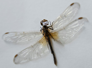 A preserved dragonfly with a mask, a miniature artwork by micro-artist Anatoly Konenko, following the outbreak of the coronavirus disease (COVID-19), is seen in an artist's workshop in Omsk