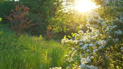 Wall Mural - Breathtaking sunrise in spring park. Sun rays getting through blossom. Trees and bushes blooming. Green grass lit by sunshine. UHD