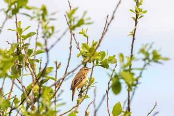 Sedge warbler singing from a tree branch