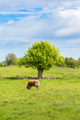 Dairy cow grazing in a pasture with pollarded trees in a rural landscape