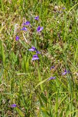 Butterwort flowers in a meadow in summer