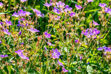 Summer meadow with Wood cranesbill