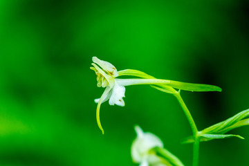Flower head on a Greater butterfly orchid flower