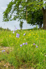 Flowering Harebell on a summer meadow