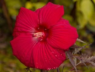 Obraz Czerwony kwiat hibiskusa - fototapety do salonu