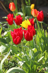 Red and yellow tulips in spring