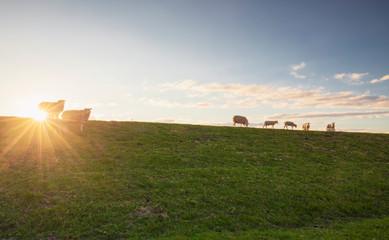 Wall Mural - sheep on pasture on horizon at sunset