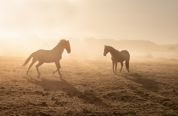 Wall Mural - horses galloping on misty sunny pasture