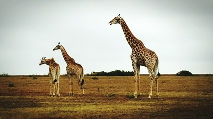 Giraffes Standing On Field Against Clear Sky
