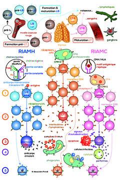 Formation & rôle des lymphocytes - Programme TS