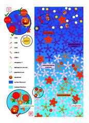 Sélection positive/négative des lymphocytes