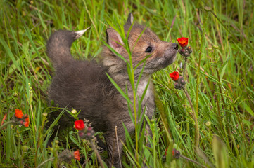Wall Mural - Red Fox (Vulpes vulpes) Kit Sniffs at Castilleja Flower Summer