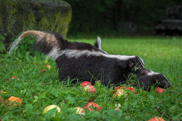 Wall Mural - Striped Skunk (Mephitis mephitis) Moves Kit Right Through Apples and Grass Summer