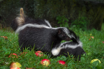 Wall Mural - Striped Skunk (Mephitis mephitis) Sniffs at Kits Rear Summer