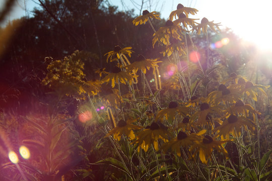 Yellow Wildflowers In Meadow At Sunset