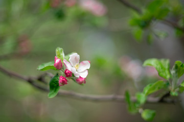 Fototapeta the beginning of pink Apple blossom in spring buds with petals close up background in a blur