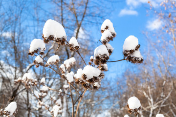 fresh snow on capitula of burdock close-up in forest on sunny spring day
