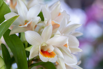 Orchid flower in orchid garden at winter or spring day for decoration and agriculture design. Dendrobium Orchidaceae.