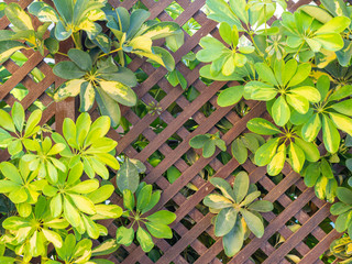 Image of brown wooden fence covered with green leaves