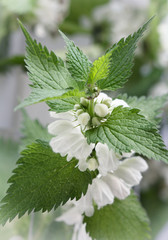blooming nettle, white inflorescences, macro