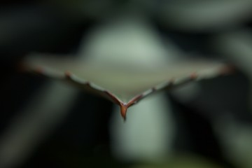 Close-up Of Aloe Vera Leaf