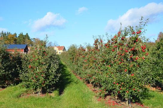 Lot of apple trees