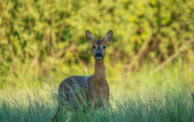 roe deer looking into the camera